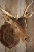 Taxidermy Eight Pointer Red Stag (2 of 6)