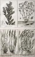 Unique Original French 18th Century Botanical Copperplate Prints (4 of 7)