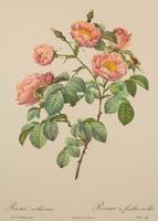 Rosa Mollissima. Pierre Joseph Redoute, Lithograph 1954 (2 of 3)