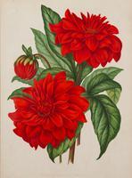 Cactus Dahlia Chromolithograph. Robinson. The Garden 1871-1881 (2 of 4)