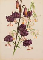 White & Black Martacon Lilies. Robinson. The Garden 1871-1881 (2 of 4)