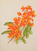 Epidendrum Rhizophorhum Orchid. Robinson. The Garden 1871-1881 (2 of 4)