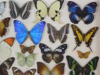Antique Specimen Butterfly Case (6 of 6)