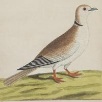 Set of Four Dove Coloured Engravings by Eleazar Albin 18thc (3 of 5)