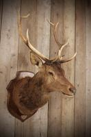 Taxidermy Eight Pointer Red Stag (3 of 6)