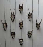 European Roe Deer Antlers (4 of 7)