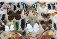 Large Antique Specimen Butterfly & Insect Case (3 of 10)