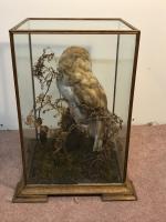 Taxidermy Barn Owl (6 of 13)