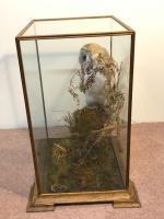 Taxidermy Barn Owl (9 of 13)
