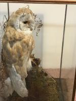 Taxidermy Barn Owl (3 of 13)