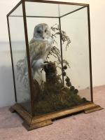 Taxidermy Barn Owl (12 of 13)