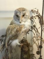 Taxidermy Barn Owl (2 of 13)