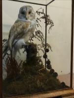 Taxidermy Barn Owl (11 of 13)