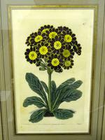 Botanical Print, Hand Coloured Engraving, Sidney Watts c.1820s (2 of 7)
