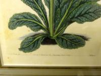 Botanical Print, Hand Coloured Engraving, Sidney Watts c.1820s (3 of 7)