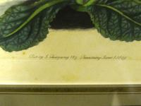 Botanical Print, Hand Coloured Engraving, Sidney Watts c.1820s (5 of 7)