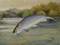 'A Roland Knight (1879-1921) Original Signed Leaping Salmon Watercolour Painting