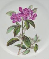 Derby Porcelain Botanical Dessert Plate Siberian Rhododendron C.1806 (7 of 7)