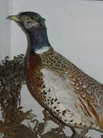 Taxidermy Pair of Pheasants c.1900 (5 of 6)