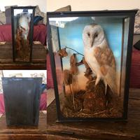 Taxidermy Barn Owl in Glass Case (4 of 4)