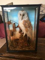 Taxidermy Barn Owl in Glass Case
