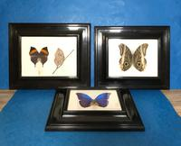 Collection of Three Victorian Taxidermy Butterflies (30 of 38)