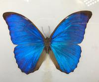 Collection of Three Victorian Taxidermy Butterflies (8 of 38)