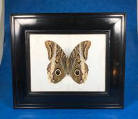 Collection of Three Victorian Taxidermy Butterflies (37 of 38)