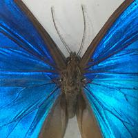 Collection of Three Victorian Taxidermy Butterflies (5 of 38)