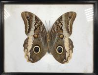 Collection of Three Victorian Taxidermy Butterflies (38 of 38)