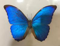 Collection of Three Victorian Taxidermy Butterflies (4 of 38)