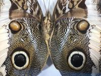 Collection of Three Victorian Taxidermy Butterflies (13 of 38)