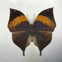 Collection of Three Victorian Taxidermy Butterflies (22 of 38)