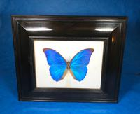 Collection of Three Victorian Taxidermy Butterflies (10 of 38)