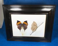 Collection of Three Victorian Taxidermy Butterflies (25 of 38)