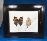 Collection of Three Victorian Taxidermy Butterflies (24 of 38)