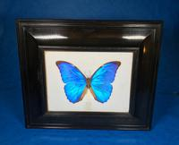 Collection of Three Victorian Taxidermy Butterflies (11 of 38)