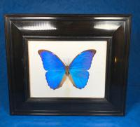 Collection of Three Victorian Taxidermy Butterflies (9 of 38)