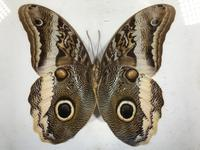 Collection of Three Victorian Taxidermy Butterflies (12 of 38)