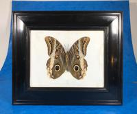 Collection of Three Victorian Taxidermy Butterflies (14 of 38)