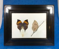 Collection of Three Victorian Taxidermy Butterflies (20 of 38)