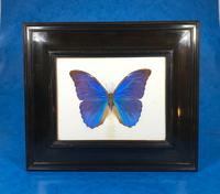 Collection of Three Victorian Taxidermy Butterflies (6 of 38)
