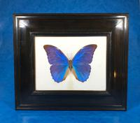 Collection of Three Victorian Taxidermy Butterflies (7 of 38)