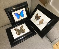 Collection of Three Victorian Taxidermy Butterflies (34 of 38)