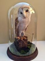 Fine Taxidermy of Barn Owl in Glass Dome (3 of 14)