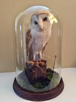Fine Taxidermy of Barn Owl in Glass Dome (4 of 14)