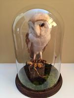 Fine Taxidermy of Barn Owl in Glass Dome (2 of 14)
