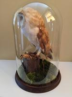 Fine Taxidermy of Barn Owl in Glass Dome (6 of 14)