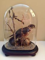 Fine Taxidermy of a Merlin Bird with Prey in Glass Dome (5 of 7)