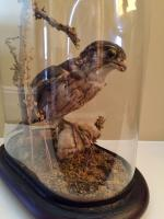 Fine Taxidermy of a Merlin Bird with Prey in Glass Dome (7 of 7)